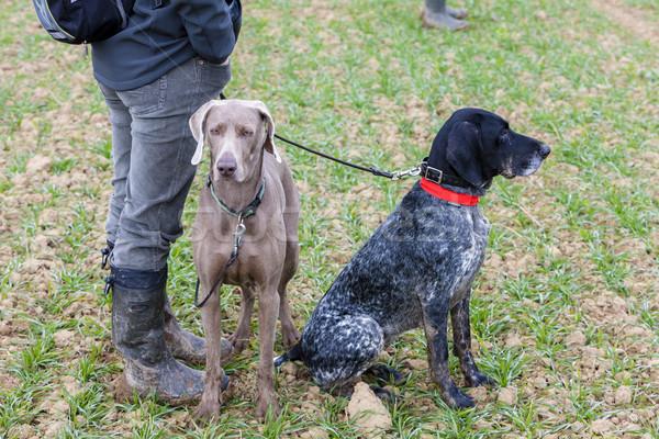 Caza perros cazador perro piernas persona Foto stock © phbcz