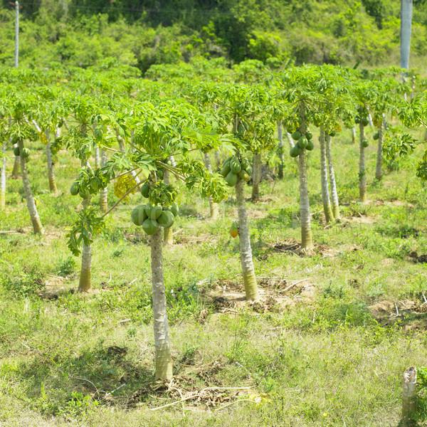 Trópusi gyümölcs LA Seychelle-szigetek fa természet gyümölcs Stock fotó © phbcz