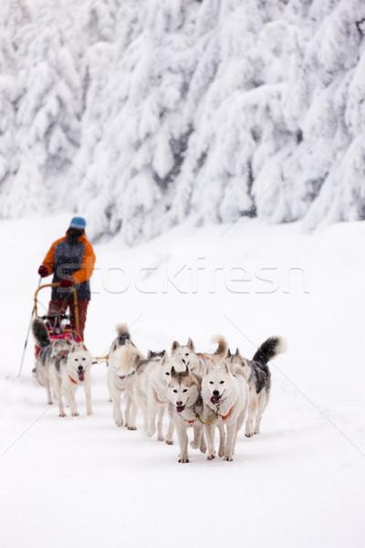 Trenó longo República Checa neve corrida raça Foto stock © phbcz