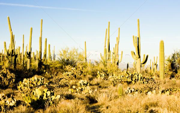 Park Arizona ABD doğa çöl kaktüs Stok fotoğraf © phbcz