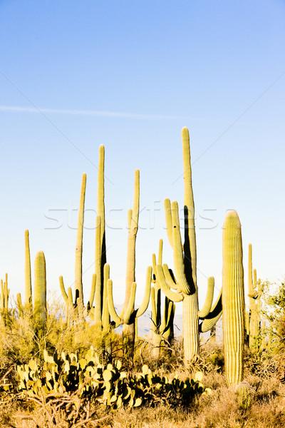 Park Arizona USA természet sivatag kaktusz Stock fotó © phbcz