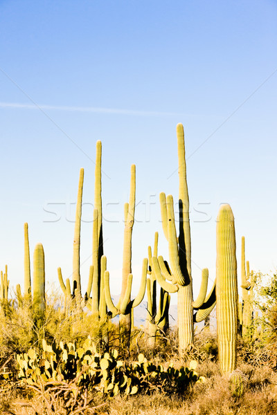 Park Arizona USA natuur woestijn cactus Stockfoto © phbcz