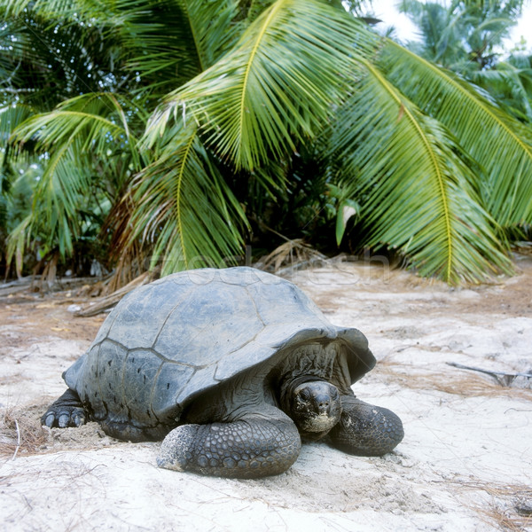 Teknős Seychelle-szigetek természet pálma állatok pálmafa Stock fotó © phbcz