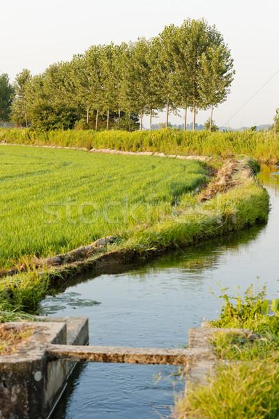 Rijstveld Italië groene plant land rijst Stockfoto © phbcz