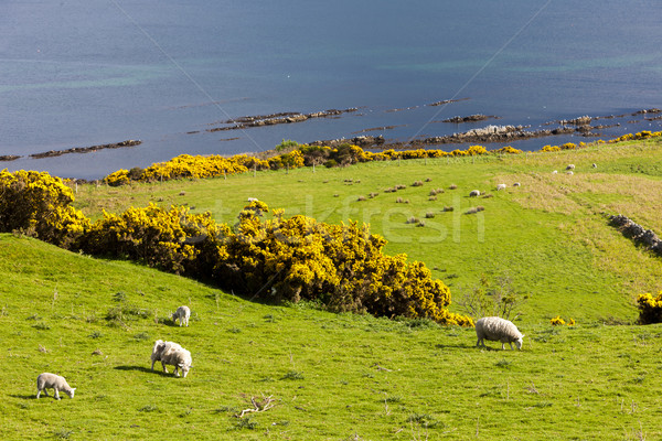 landscape with sheep near Crackaig, Highlands, Scotland Stock photo © phbcz