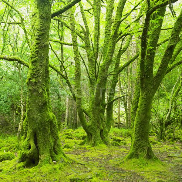 Bos park Ierland hout natuur bomen Stockfoto © phbcz