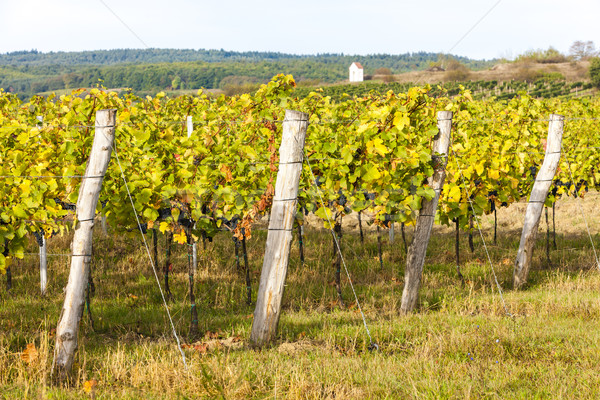 Stock photo: autumnal vineyard near Hnanice, Southern Moravia, Czech Republic