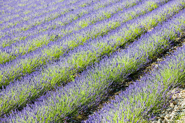 Campo de lavanda departamento Francia flor naturaleza fondo Foto stock © phbcz