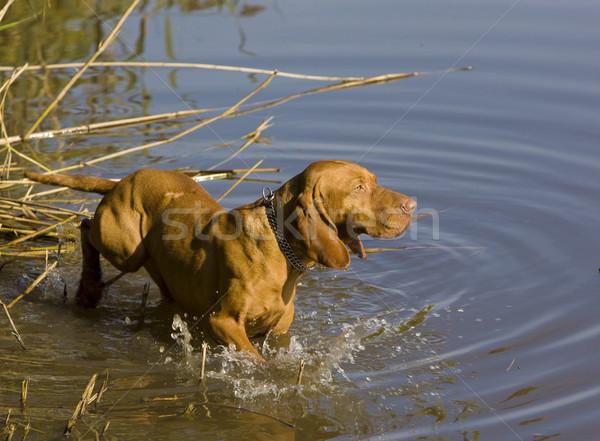 Gölet köpek hayvan oyun evcil hayvan Stok fotoğraf © phbcz