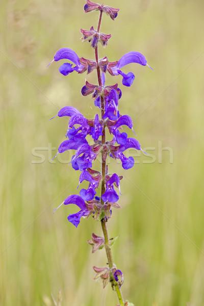 flower in meadow Stock photo © phbcz