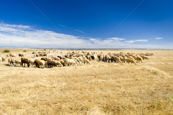 sheep herd, Zamora Province, Castile and Leon, Spain Stock photo © phbcz