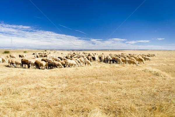 Ovelha rebanho Espanha grupo animal paisagens Foto stock © phbcz