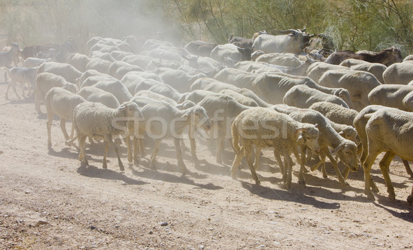 sheep herd, Badajoz Province, Extremadura, Spain Stock photo © phbcz