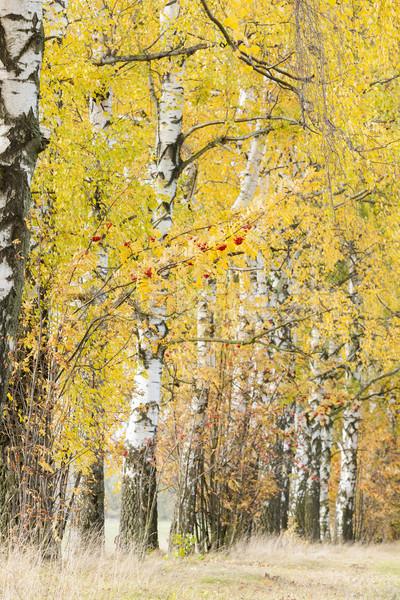 őszi nyírfa sikátor ősz növény út Stock fotó © phbcz