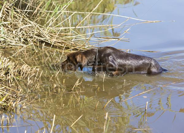 Jachthond vijver honden dier huisdier outdoor Stockfoto © phbcz