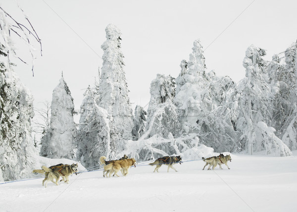 sledge dogging, Sedivacek''s long, Czech Republic Stock photo © phbcz