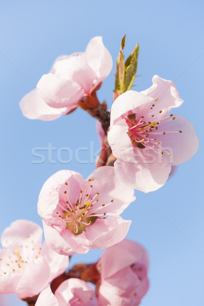 detail of blossom peach tree Stock photo © phbcz