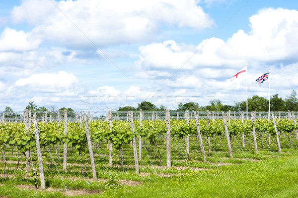 vineyar near Lamberhurst, Kent, England Stock photo © phbcz