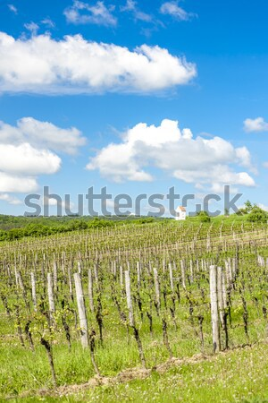 Stock photo: vineyard called Sonberk, Czech Republic