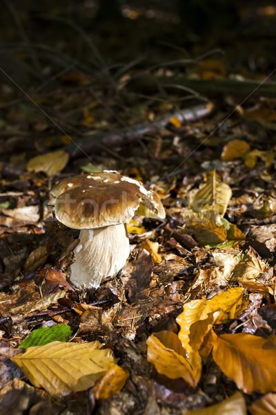 съедобный гриб лес осень осень природного Сток-фото © phbcz