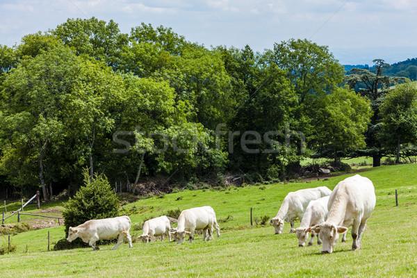 Nyáj tehenek Franciaország természet Európa legelő Stock fotó © phbcz