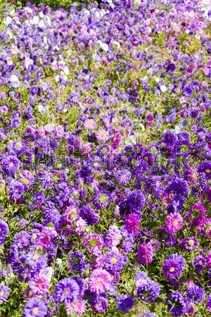 flowerbed of asters Stock photo © phbcz
