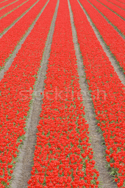 tulip field near Noordwijk, Netherlands Stock photo © phbcz
