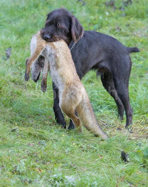 Jachthond hond gras natuur zak Stockfoto © phbcz