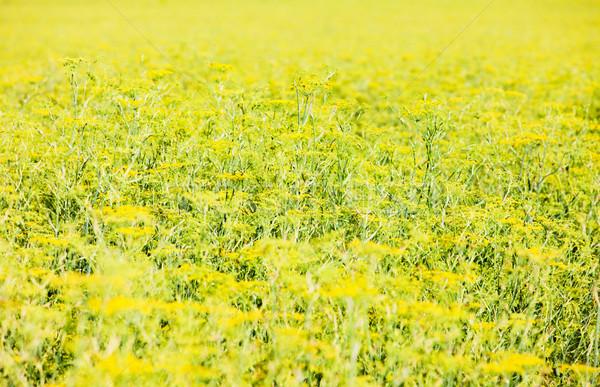 field, Plateau de Valensole, Provence, France Stock photo © phbcz
