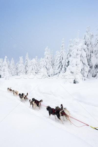Szánkó hosszú Csehország természet hó fut Stock fotó © phbcz