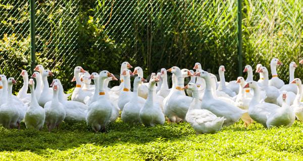 гусь фермы Чешская республика птица группа Европа Сток-фото © phbcz