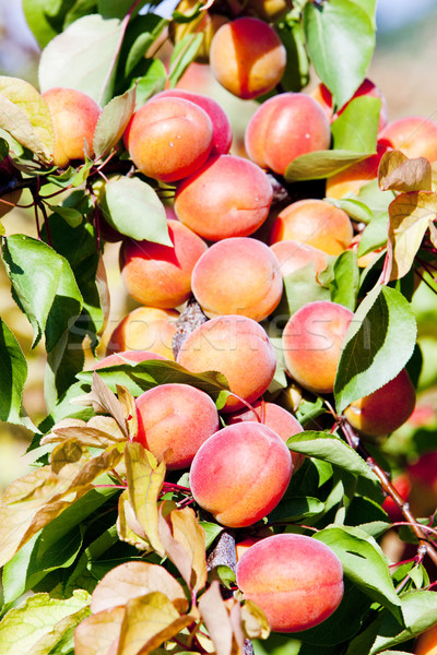 Boomgaard natuur blad vruchten bomen planten Stockfoto © phbcz