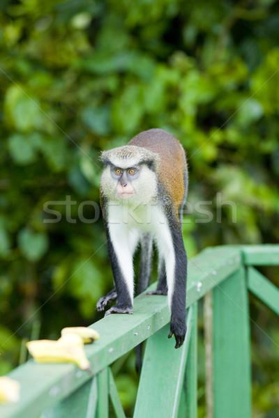 Majom park Grenada állatok állat szabadtér Stock fotó © phbcz