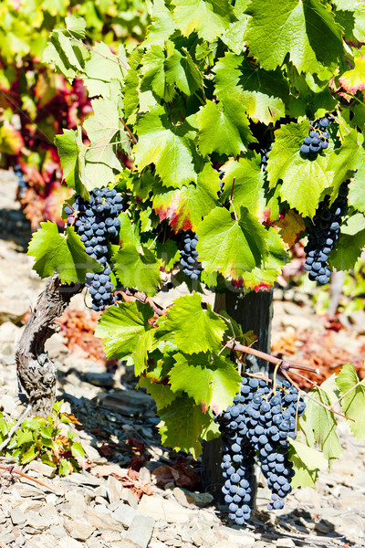 red grapes, Douro Valley, Portugal Stock photo © phbcz