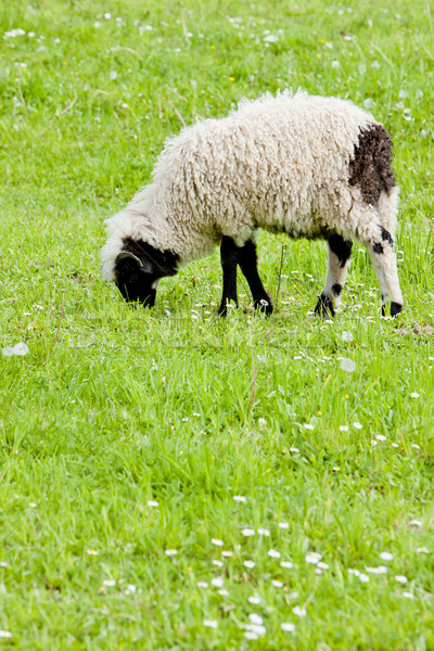 lamb on meadow, Bosnia and Hercegovina Stock photo © phbcz