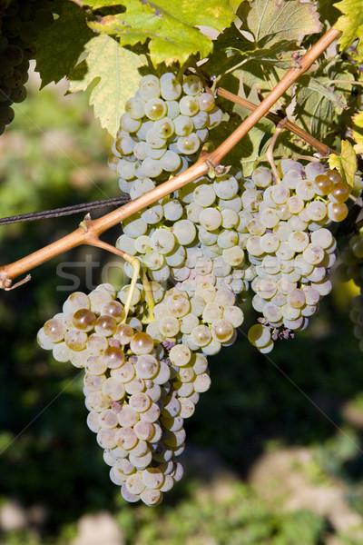 vineyard U svateho Urbana, Bily sklep rodiny Adamkovy, Czech Rep Stock photo © phbcz