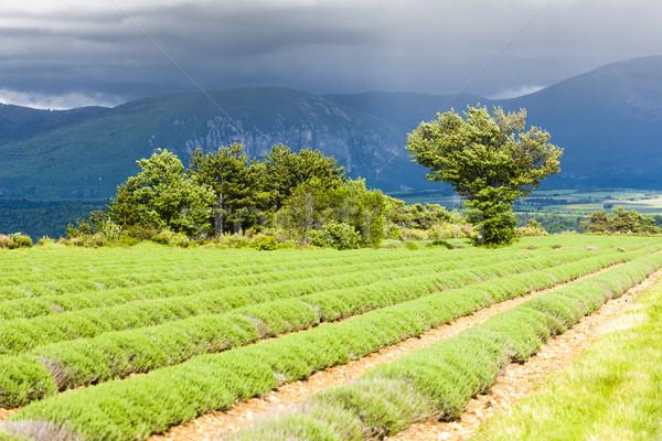 Campo de lavanda planalto França primavera paisagem campo Foto stock © phbcz