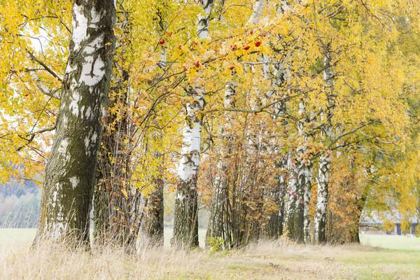 Sonbahar huş ağacı geçit sonbahar bitki yol Stok fotoğraf © phbcz