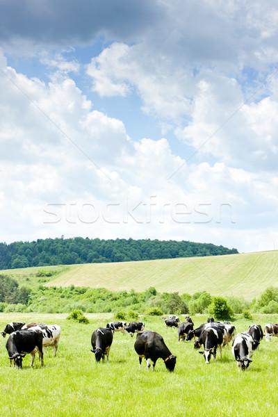 herd of cows, Slovakia Stock photo © phbcz