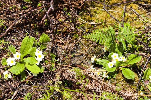 Prímula natureza planta feto flor ao ar livre Foto stock © phbcz
