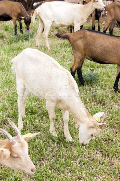 herd of goats, Aveyron, Midi Pyrenees, France Stock photo © phbcz