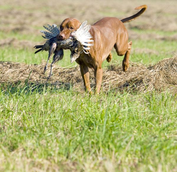 Chien de chasse chien herbe sac animaux Photo stock © phbcz
