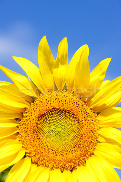 Tournesol France fleurs nature bleu plantes Photo stock © phbcz