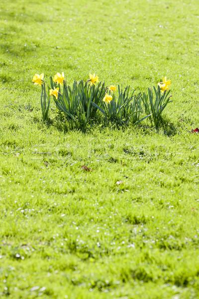 Narcissen gazon natuur groene plant park Stockfoto © phbcz