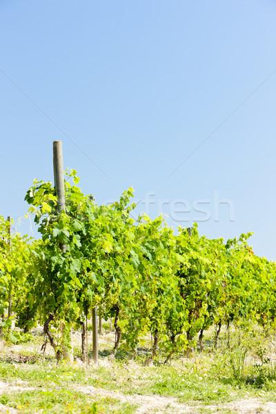 vineyar near Cereseto, Piedmont, Italy Stock photo © phbcz