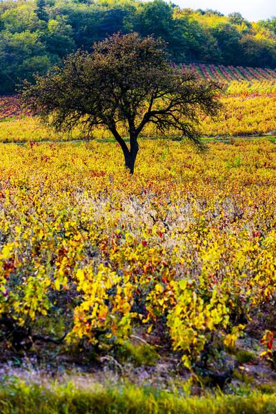 vineyard with tree in Beaujolais, Rhone-Alpes, France Stock photo © phbcz