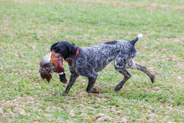 Cão de caça corrida animal de estimação caça ao ar livre Foto stock © phbcz