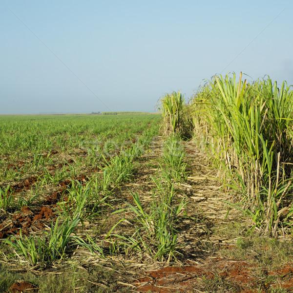 Cukier trzcinowy dziedzinie charakter liści roślin tropikalnych Zdjęcia stock © phbcz