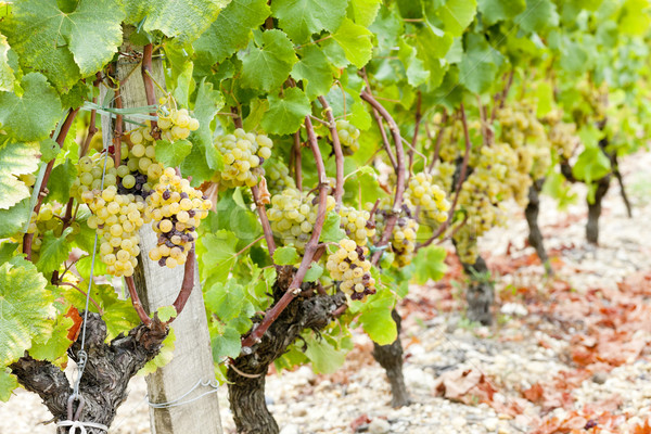 white grape in vineyard, Sauternes Region, Aquitaine, France Stock photo © phbcz