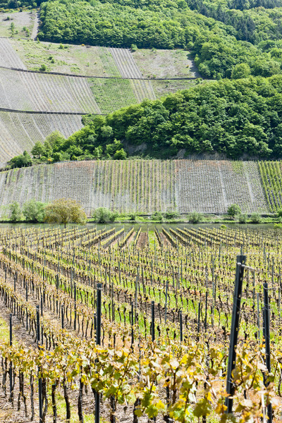 vineyars near Polich, Rhineland-Palatinate, Germany Stock photo © phbcz